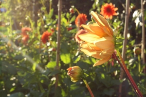 Golden dahlias in late summer light