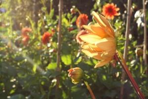 Golden dahlias in late summer light