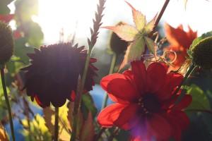 Late summer dark dahlias and foliage